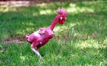 Giống gà không lông.