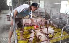 Anh Phan Văn Hùng đổ cám cho đàn lợn ăn tại trang trại của gia đình ở huyện Kim Sơn (Ninh Bình)