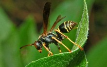 Loài ong Polistes fuscatus