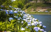 Vườn hoa cẩm tú cầu cách Hà Nội hơn 200km