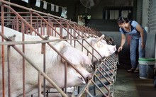 Một hộ chăn nuôi lợn ở Đồng Nai