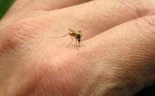 Vì sao muỗi thường đốt người này mà không đốt người kia?