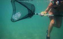 Tiến sỹ Leone cố gắng bắt một con sứa về phòng thí nghiệm để kiểm tra độc tính. (Nguồn: NYTimes)