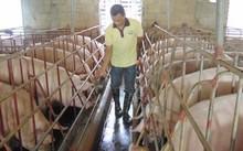 NHCSXH sẽ gia hạn nợ cho khách hàng vay vốn đầu tư chăn nuôi lợn