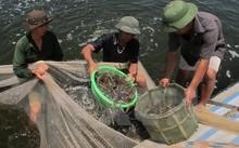 Công nhân Công ty cổ phần đầu tư phát triển thủy sản Bình Minh thu hoạch tôm. (Ảnh: Hải Yến/TTXVN)