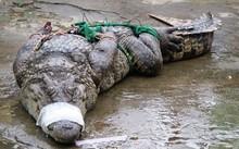 Cá sấu càng lớn càng bị ép giá.