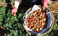 Tuy giá cao hơn dâu tây giống trong nước nhưng giá loại dâu Nhật rất được ưa chuộng.