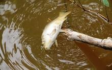 Nguyên nhân cá chết được xác định là do nhiễm vi khuẩn Aeromonas sobria.
