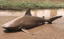 Con cá mập ăn thịt người nằm giữa phố ở Australia. Ảnh: Twitter