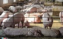 Xuất khẩu thịt lợn sang Trung Quốc là một trong những giải pháp quan trọng giúp giải quyết tình trạng giá lợn lao dốc hiện nay.
