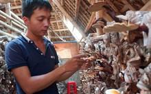 Hoàng Văn Nguyên bên trang trại nấm linh chi đỏ của mình.