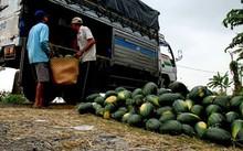 Dưa hấu Việt Nam xuất khẩu nguy cơ ế ẩm