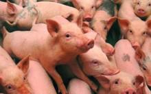 APEC 2017 có thể 'cứu' ngành chăn nuôi lợn ở Việt Nam