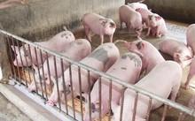 Giải cứu nông dân nuôi lợn: Bộ Tài chính, Công Thương vào cuộc