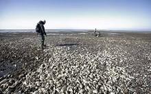 Hàu Thái Bình Dương từ châu Á đang phủ kín các bãi biển Đan Mạch. Ảnh:SCMP