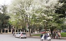 Cây thàn mát, được biết đến nhiều hơn với tên gọi cây sưa trắng, là loài cây rất độc được trồng phổ biến ở Hà Nội.