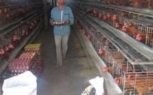 Muốn xuất khẩu thịt gà phải có chuỗi sản xuất khép kín đến sản phẩm cuối cùng, bảo đảm an toàn dịch bệnh.
