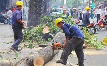 Hà Nội sẽ công khai việc di dời cây xanh