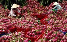 Nguồn cung thanh long tươi cho thị trường Trung Quốc hiện cơ bản từ nội địa và nhập khẩu từ Việt Nam.