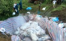 Công tác tiêu hủy lợn chết tại Yên Định, Thanh Hóa.