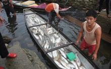 Thừa Thiên-Huế: Cá lồng chết từ sông ra đến cửa biển
