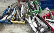 Hiện tượng cá lồng nuôi chết bất thường ở đầm Lập An khiến nhiều hộ nuôi lo lắng.