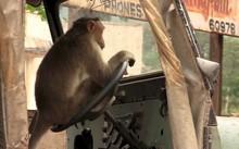 Thừa lúc tài xế ngủ, khỉ lẻn vào lái xe buýt gây tai nạn liên hoàn