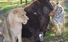Tình bằng hữu 15 năm đáng ghen tị của hổ, sư tử và gấu
