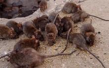 """Người đẹp """"nhân giống"""" thả hàng ngàn con chuột ra đường"""