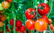 """Cà chua giúp cải thiện """"chuyện ấy"""""""