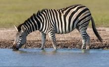 Vì sao ngựa vằn có sọc trên thân?