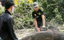 Vụ thay thế 6.700 cây xanh ở Hà Nội: Tổng Thanh tra CP yêu cầu làm nghiêm việc chặt cây