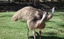 Chim đà điểu Australia. Ảnh: SMH