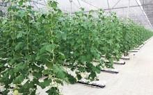 Vingroup ra mắt sản phẩm trái cây nhà kính đầu tiên