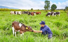 Vinamilk đạt chứng nhận trang trại bò sữa organic đầu tiên tại Việt Nam