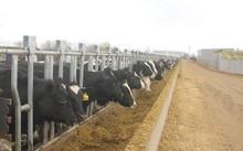 Vinamilk nhập hơn 2.000 con bò sữa cao sản từ Mỹ