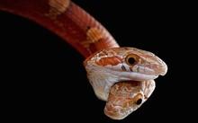 Con rắn ngô có hai đầu. Ảnh: Matthijs Kuijpers.