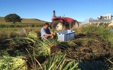 Ông Frank đang thu hoạch sả trong trang trại của mình. Ảnh: ABC