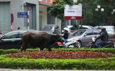 Con trâu sổng chuồng gây náo loạn đường phố Hà Nội. Ảnh: Infonet