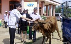 Tập đoàn FLC trao bê giống cho 6 huyện Bình Định
