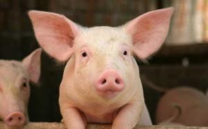 Cấy ghép nội tạng lợn cho… người