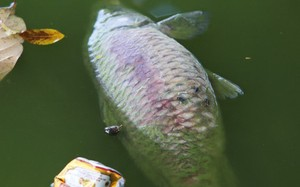 Hồ Gươm đang bị ô nhiễm nặng. Ảnh: Ngọc Thành.