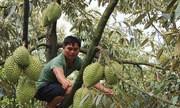 Sầu riêng Lâm Đồng giá cao kỷ lục