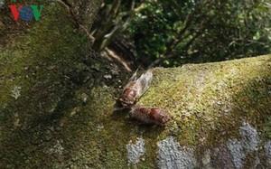 Ve lạ đeo bám thân cây ăn quả.