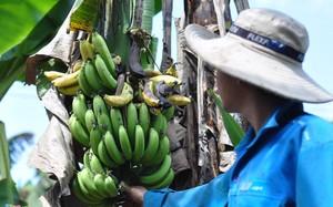 Chuối ở Đồng Nai đang bước vào giai đoạn cuối vụ, giá chỉ đạt từ 1.000-2.500 đồng/kg.