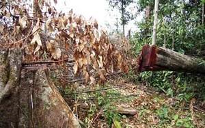 Nhiều cây có đường kính lớn bị cưa hạ.
