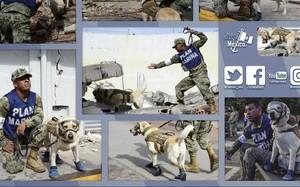 Frida – chú chó cứu sống hàng chục người trong trận động đất tại Mexico
