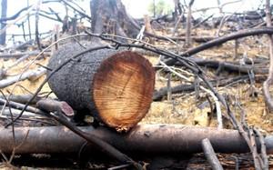 Hiện trường rừng phòng hộ ở xã Tiên Lãnh, huyện Tiên Phước bị phá