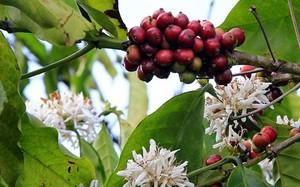 Trên cây cà phê vừa có quả vừa có hoa khiến người dân phải thực hiện quy trình ngược, cắt cành tạo hình sau khi cà phê đã ra hoa.