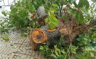 Một cây mai anh đào lâu năm bị bật gốc. Ảnh: Khánh Hương.